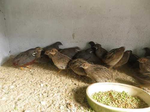 Thức ăn của chim cút đẻ trứng