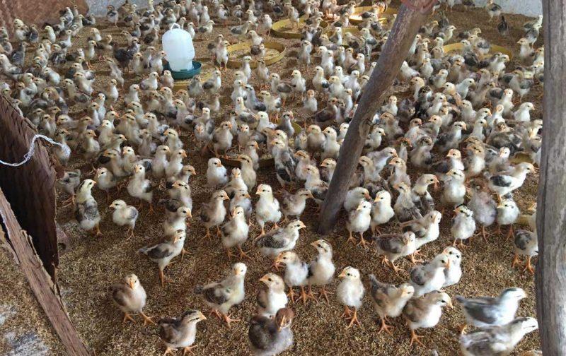 Chăn nuôi thua lỗ bởi nuôi gà công nghiệp lông trắng