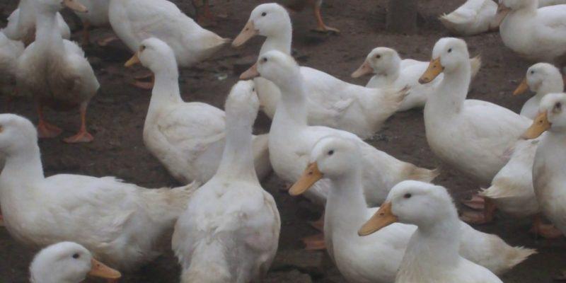 Mô hình nuôi vịt đẻ trứng hướng đi mới cho người dân