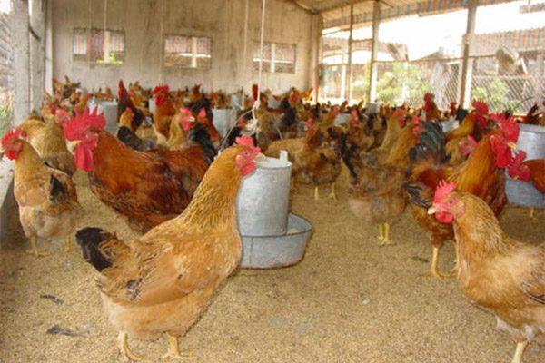 Người nuôi cần lưu ý gì khi làm chuồng cho gà thịt?